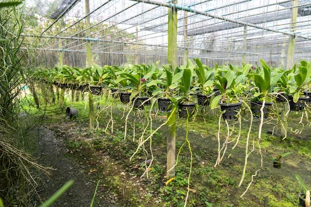販売のために栽培された蘭は商業的に栽培されています。