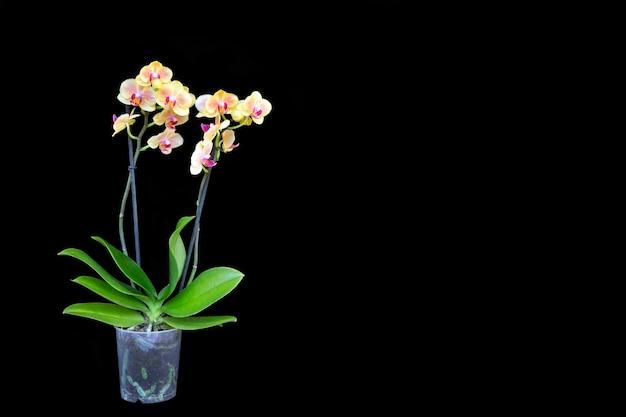 Орхидея в горшке, изолированная на черном. цветоводство, хобби, домашние цветы.