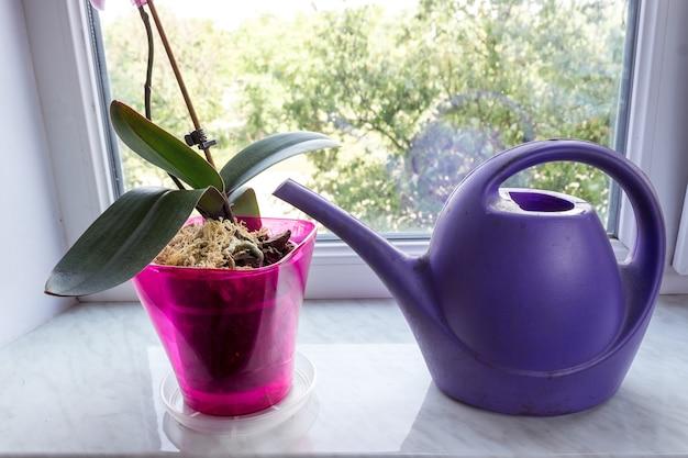 Орхидея в горшке на окне с лейкой. уход за комнатным растением фаленопсис. выращивание цветов в домашних условиях