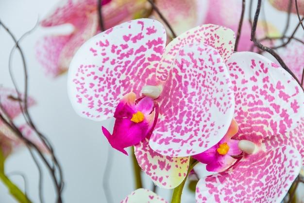 핑크 색상의 달의 난초, 리우데 자네이루 정원에서 매우 인기있는 식물.