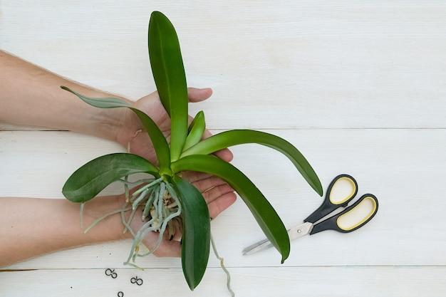 Посадка орхидеи фаленопсис руки держат растение пересадка растения в новый горшок