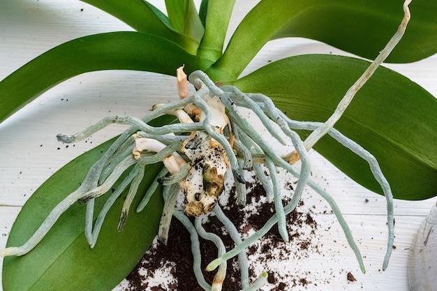 Посадка орхидеи фаленопсис пересадка растения в новый горшок домашний сад и теплица