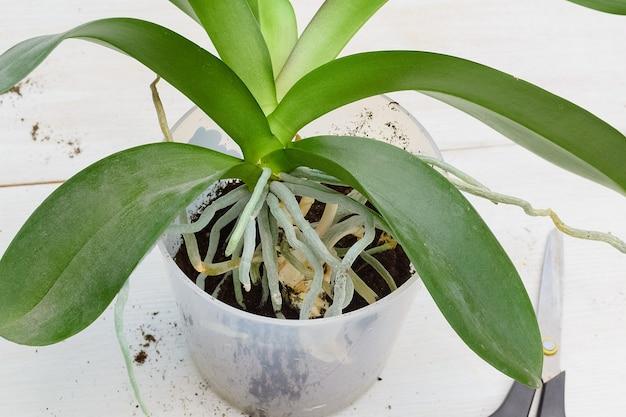 Посадка орхидеи фаленопсис пересадка растения в новый горшок обрезка корней уход