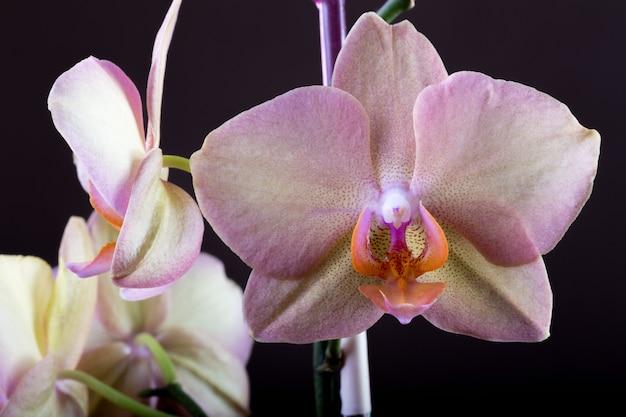 Орхидея розового цвета на темном фоне