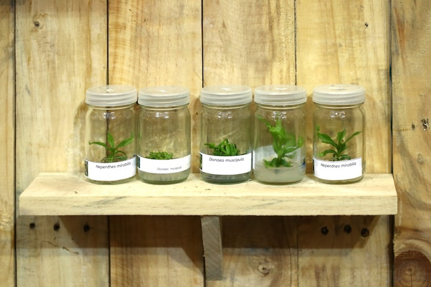 Orchid, plant tissue culture in the laboratory