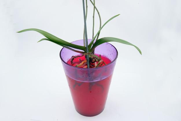 해충, 부패를 치료하기 위해 붉은 용액에 담근 난초 뿌리