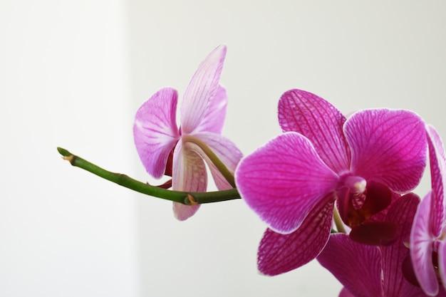 Орхидные орхидеи фаленопсис