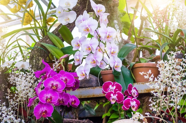 Orchids flower in clay pots in a tropical wet forest.