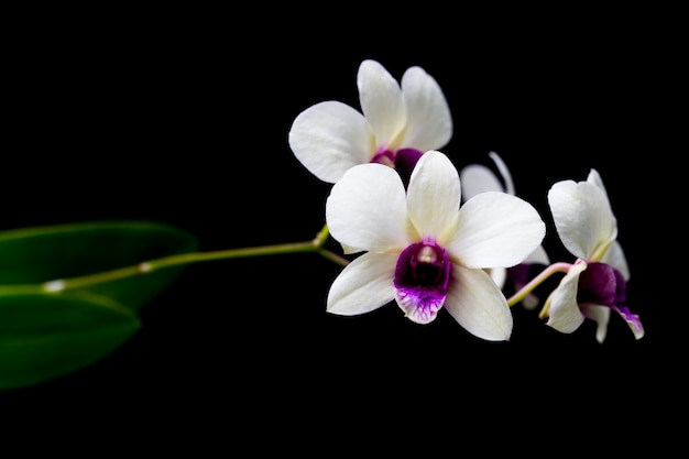 Orchids in the garden have a black background.