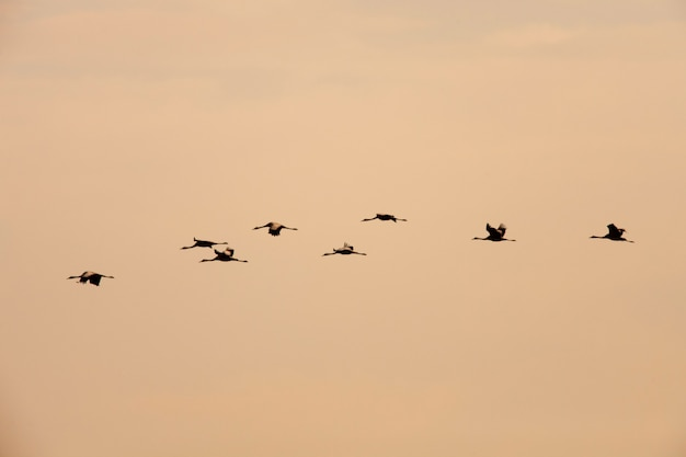Ordered cranes flying in formation