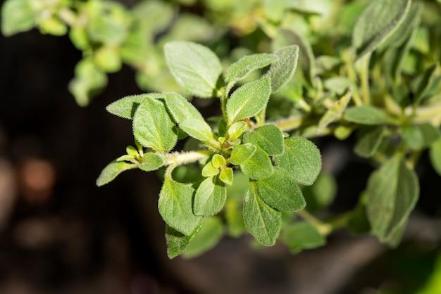 오레가노 분기 녹색 자연 배경에 나뭇잎.