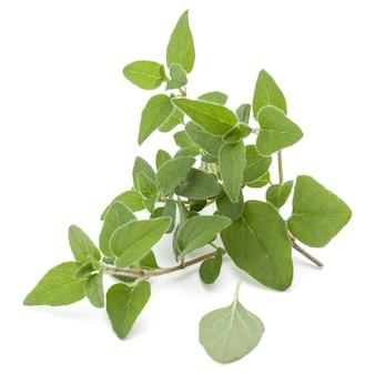 白い背景の切り欠きに分離されたオレガノまたはマジョラムの葉