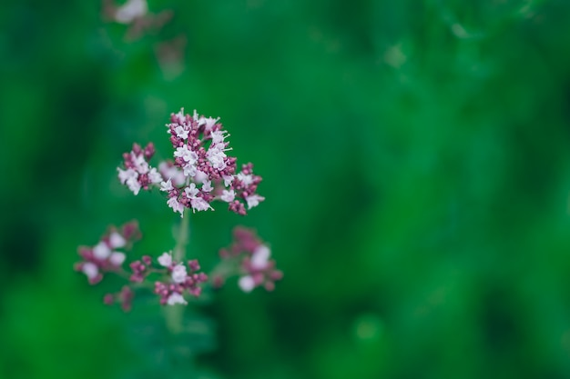 Oregano origanum vulgare purple violet flowers on nature