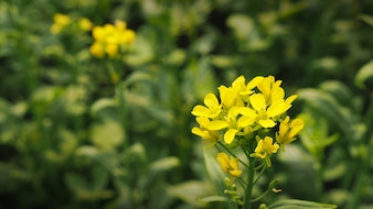 Organic Agriculture, Mustard Cultivation