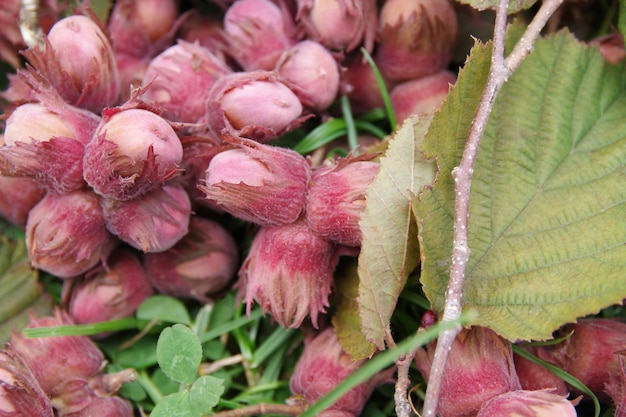 草の上の有機で新鮮なヘーゼルナッツ。閉じる