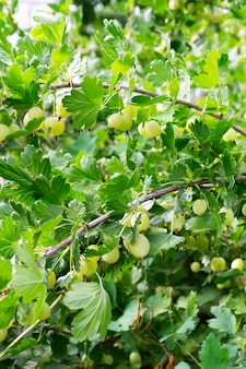 Organic berries of gooseberries on the bush in the garden on a summer day