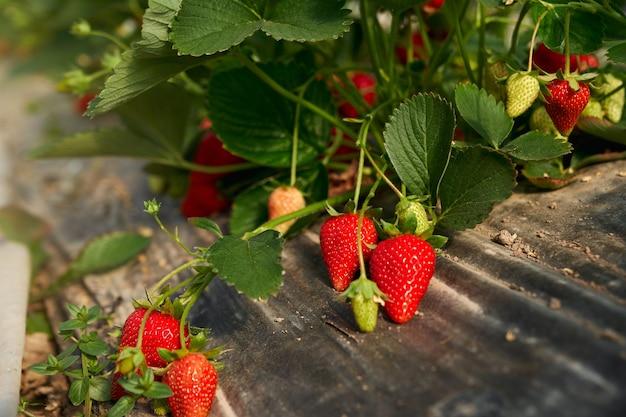 농장 필드에서 성장하는 달콤한 딸기와 유기농 덤불. 달콤한 제철 열매 재배. 식물 온실.