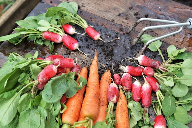 Organic carrots and radishes freshly harvested in garden and put on a plank with a little rake