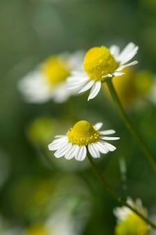 有機性カモミール(chamaemelum nobile l.)。自然のプランテーションフィールド。