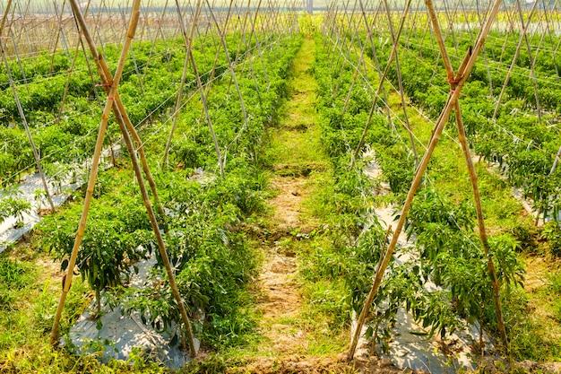 Органический чили или перец плантации в саду