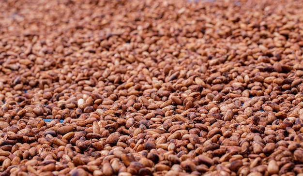 農場で天日干しする有機カカオ豆
