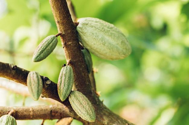 自然界の有機カカオ果実のさや。