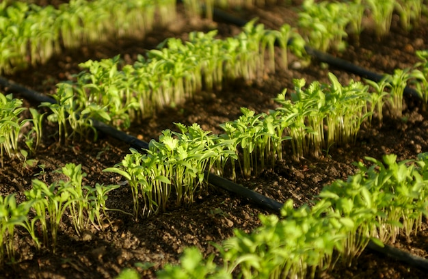 Органические растения кориандра с орошением в лагоа сека параиба бразилия
