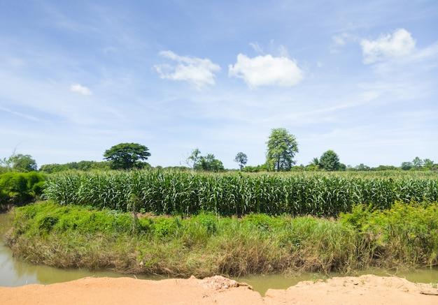 かんがい運河近くの有機性トウモロコシ農場