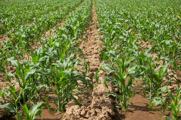 인간의 소비와 동물 사료 모두에 사용되는 녹색 잎과 줄기가 있는 유기농 옥수수 밭