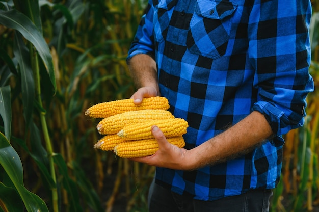 Organic corn on a small organic farm harvested during sunset. big aperture. men's hands hold corn. vegetable harvest concept.