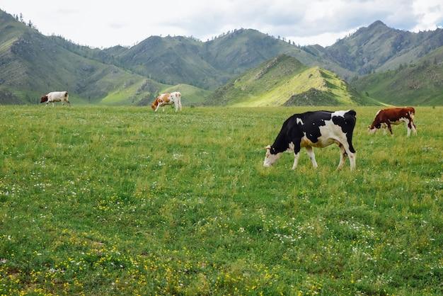 山の自然の牧草地で有機乳牛群が放牧