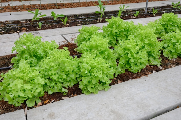 Organic farm green oak lettuce, thailand