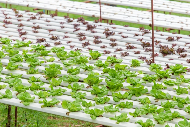 Organic farm with agriculture vegetable hydroponic