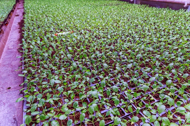 Organic farming, seedlings growing in greenhouse. lots of cabbage seedlings in black plastic cassettes in the greenhouse.