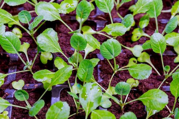 유기 농업, 온실에서 자라는 묘목. 온실의 검은 색 플라스틱 카세트에 많은 양배추 묘목.