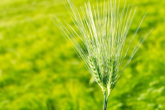 緑の小麦の有機フィールドをクローズアップ。セレクティブフォーカス。
