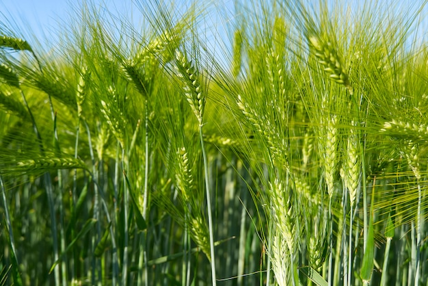 緑の小麦の有機フィールドをクローズアップ。
