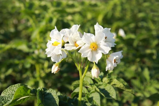 유기농 식품 농업, 감자 꽃은 흰색, 자연 재배 조건의 정원