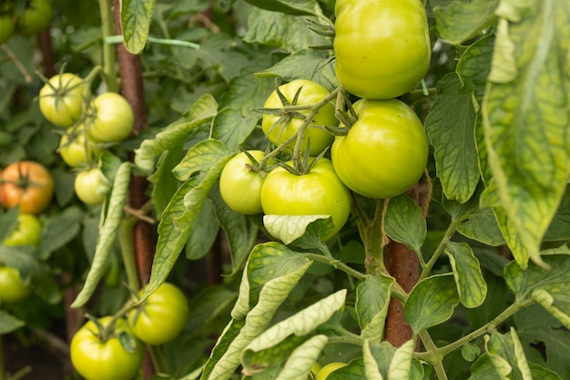 Organic food, unripe green tomatoes on the branches