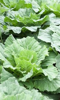 매일 영양이 필요한 정원의 유기농 신선한 콜라드 그린