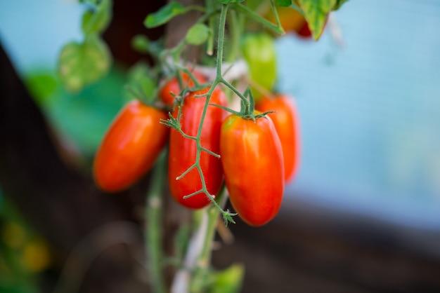 나뭇가지에 있는 유기농 정원 토마토, 선택적 초점