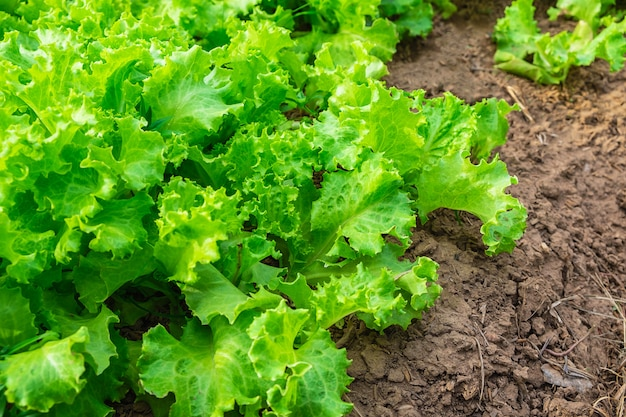 Organic glass lettuce healthy vegetables