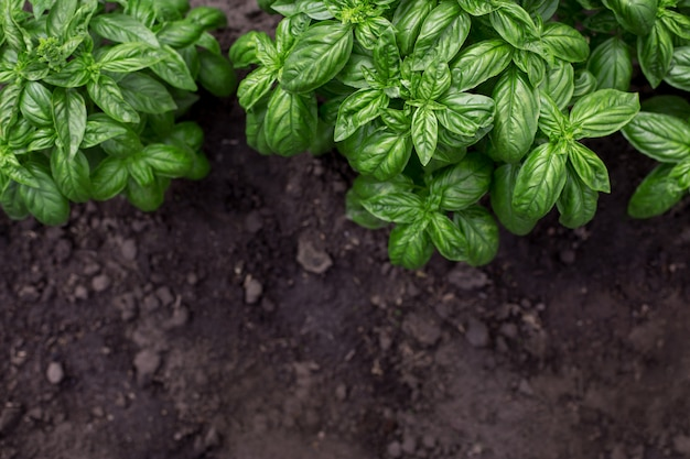 Organic green basil plant in the garden