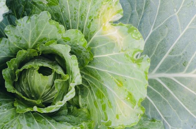 Органический овощ зеленой капусты в саде