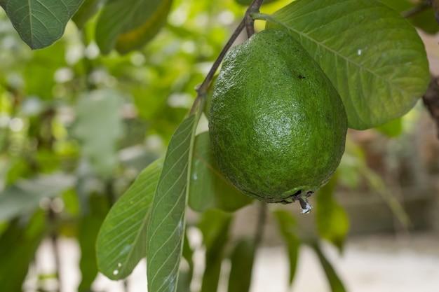나무에서 자라는 유기농 녹색 구아바 과일을 닫습니다.