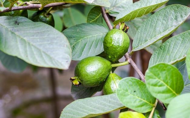 작은 가지에 있는 나무에서 자라는 유기농 녹색 구아바 과일