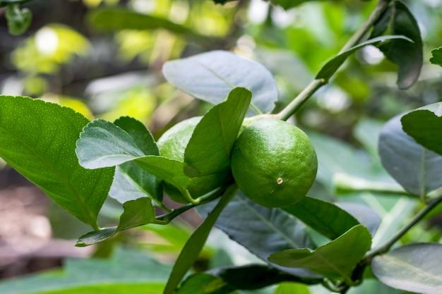 유기농 녹색 레몬은 농업 농장 내부에서 자라는 잎이 있는 나뭇가지에 있는 나무에 닫힙니다.