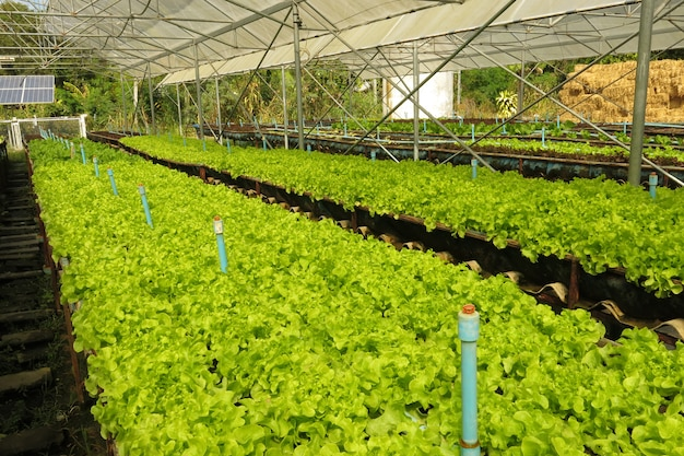 Organic green lettuce farm growing in the greenhouse and ready to be harvested