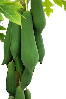 Organic green papaya tree with fruits