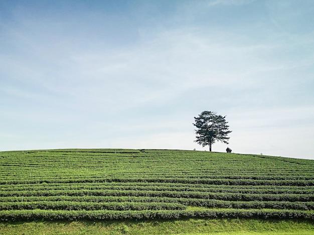 Organic green tea farm